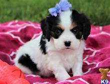 cavalier king charles spaniel puppy posted by tiaraz