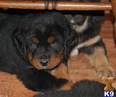tibetska Picture 3