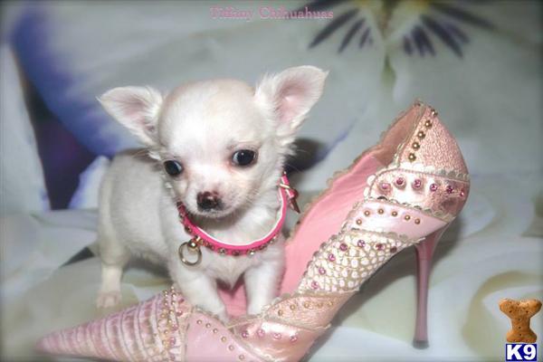 x exceptional xxs micro tiny champagne baby girl x 44084