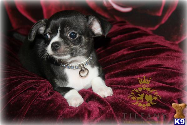 Tiffany-chihuahuas Picture 1