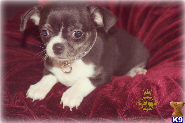 Tiffany-chihuahuas Picture 2