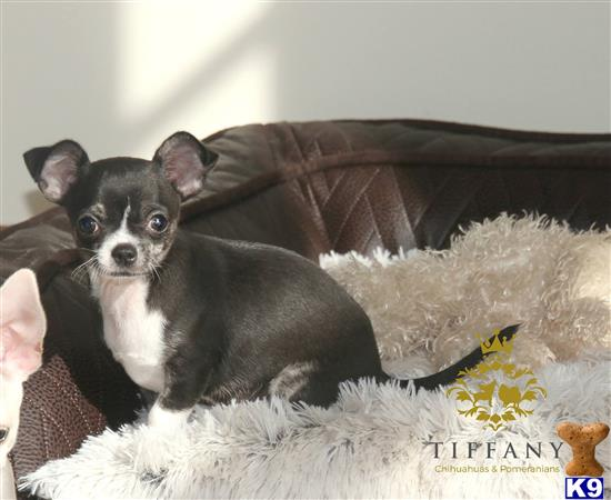 Tiffany-chihuahuas Picture 3