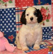 cavalier king charles spaniel puppy posted by tinawa