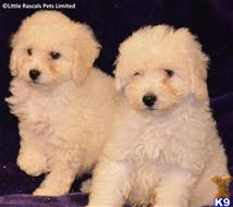 poodle puppy posted by tinawa