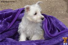 west highland white terrier puppy posted by tinker123