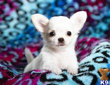 chihuahua puppy posted by tirajane