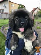 caucasian ovcharka puppy posted by tomasz