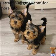 yorkshire terrier puppy posted by tortukilti
