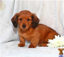 dachshund puppy posted by tracymarie00015