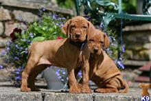 vizsla puppy posted by tracymarie00028