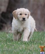 labrador retriever puppy posted by tracymarocy84