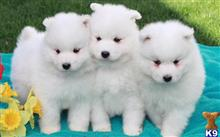 samoyed puppy posted by travoltmartins
