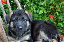 german shepherd puppy posted by vahox95489