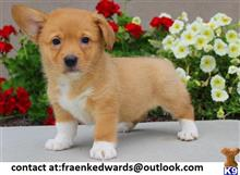 pembroke welsh corgi puppy posted by venes