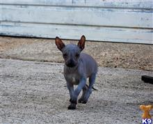 xoloitzcuintli puppy posted by vesta27