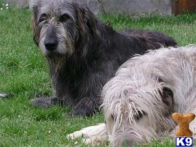 Irish Wolfhound Puppies on Burela Lugo  Spain Irish Wolfhound Puppies