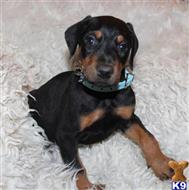 doberman pinscher puppy posted by vexih42708