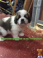 saint bernard puppy posted by vickypalmae