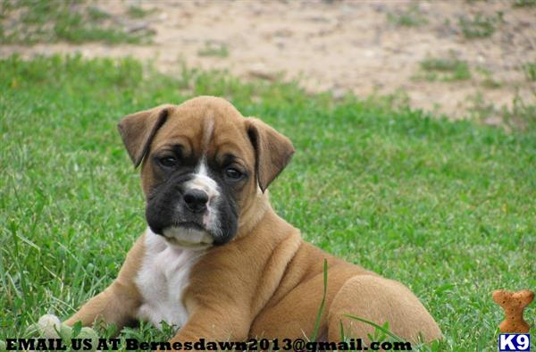 Boxer Puppies Available For Sale Now Northern Ireland UK