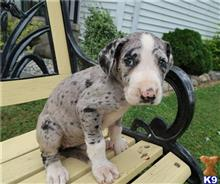 great dane puppy posted by victoriachloe9578965423