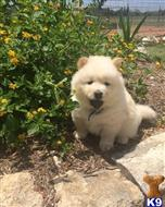 chow chow puppy posted by visege9910