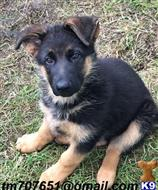 german shepherd puppy posted by vivianlawson1