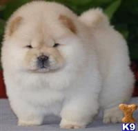chow chow puppy posted by viyorek5621