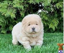 chow chow puppy posted by viyorek567