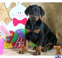 doberman pinscher puppy posted by vtzqyqng