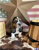 basset hound puppy posted by wajafoj118