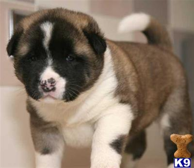 Akita Puppies Images | Puppies