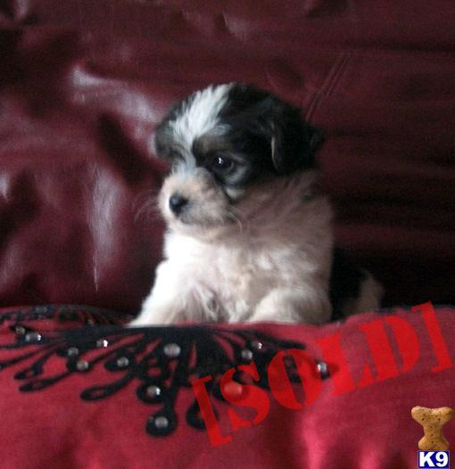 Non Moulting Dogs For Sale Uk