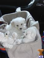 bichon frise puppy posted by waunlluest