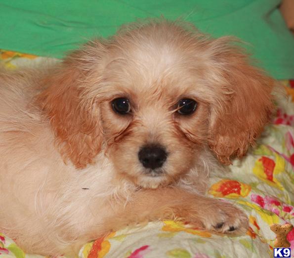 Gorgeous Ruby Cavachon Puppy