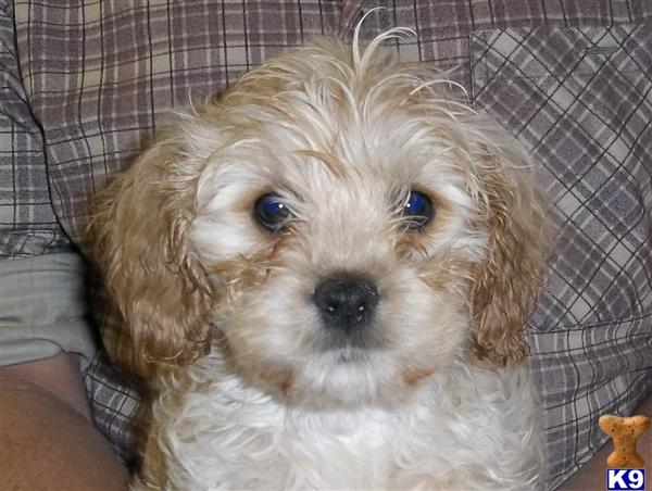 Puppies For Sale Cavalier King Charles Spaniel Beautiful Cavachons