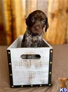 german shorthaired pointer puppy posted by webex80447