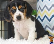 beagle puppy posted by well00