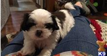 shih tzu puppy posted by White252