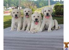 labrador retriever puppy posted by wilkent4526663