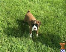 boxer puppy posted by williamkelvine34