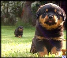 rottweiler puppy posted by williehart46