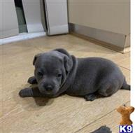 staffordshire bull terrier puppy posted by willliamwhatlock