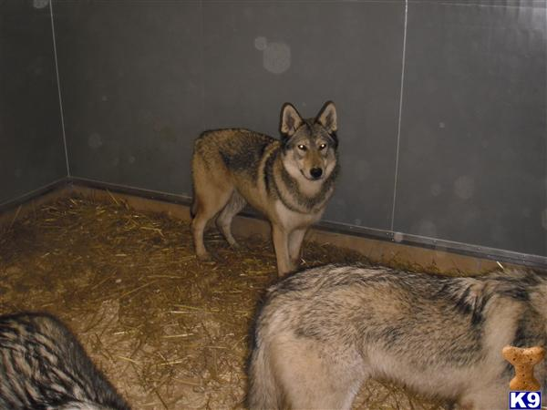 wolfzone Picture 1