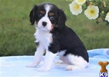 cavalier king charles spaniel puppy posted by wonoc