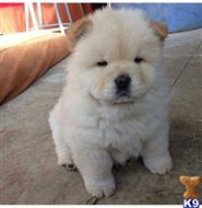 chow chow puppy posted by woyixis7240