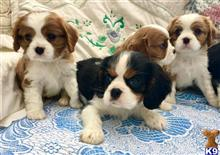 cavalier king charles spaniel puppy posted by wzwoysro