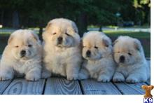 chow chow puppy posted by xagoyoh201