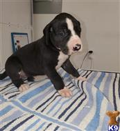 great dane puppy posted by xawoxa