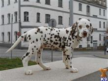 dalmatian puppy posted by xnvmojlz