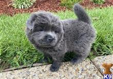 chow chow puppy posted by xoneb27633